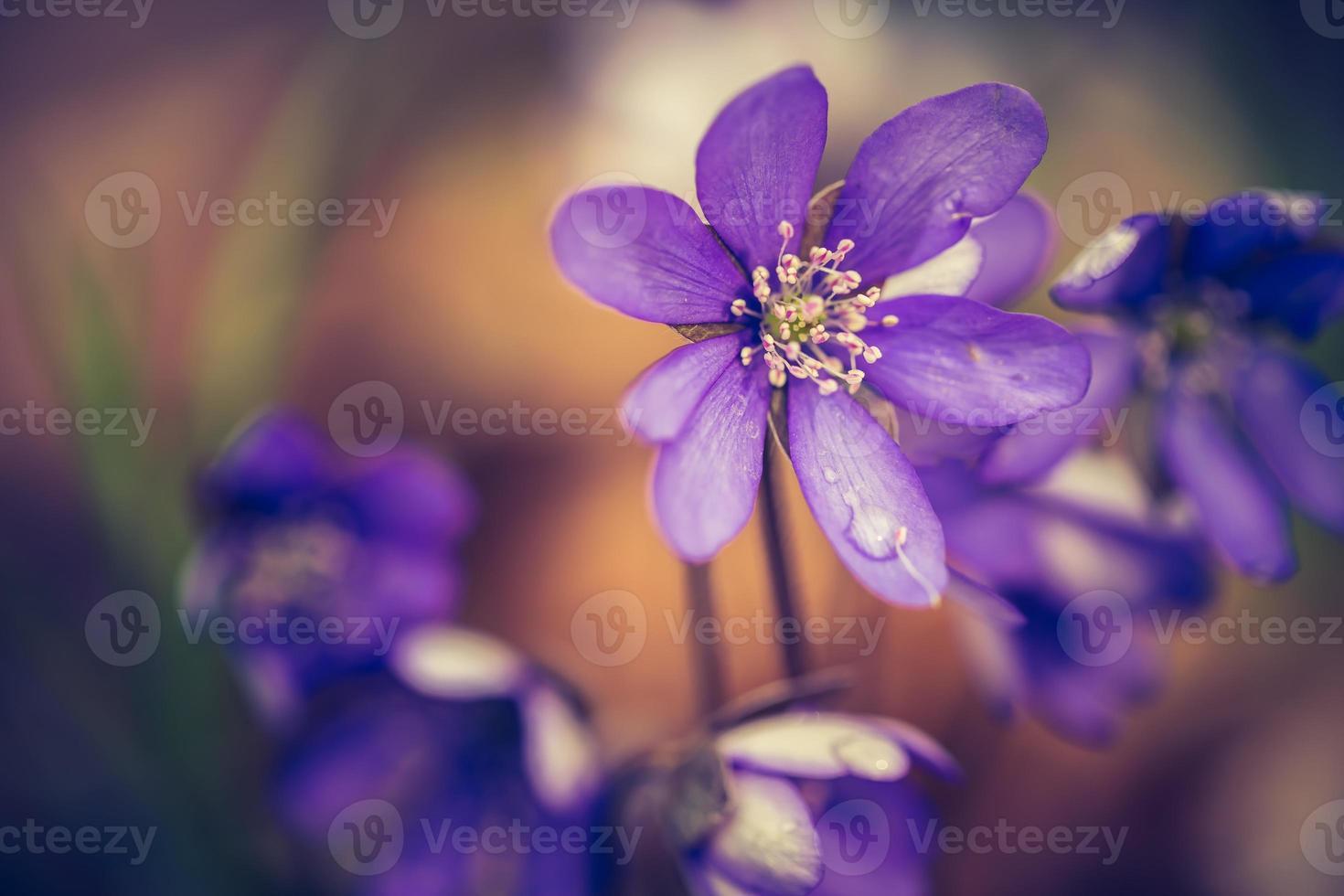 Foto de época de hepáticas flores floreciendo