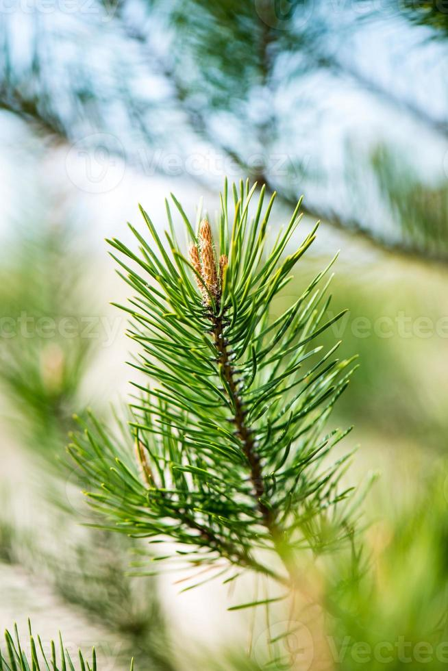 pine tree blossoms in spring photo