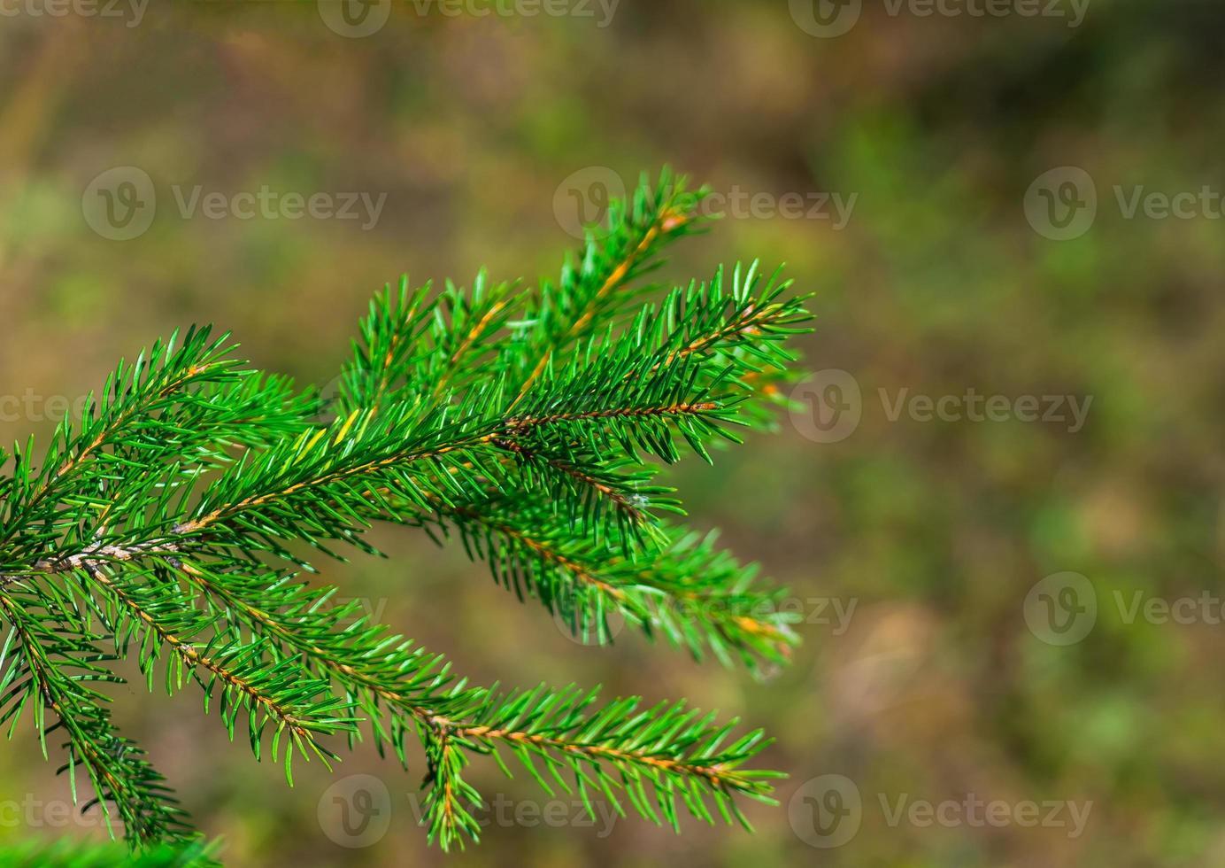 rama de abeto verde fresco foto