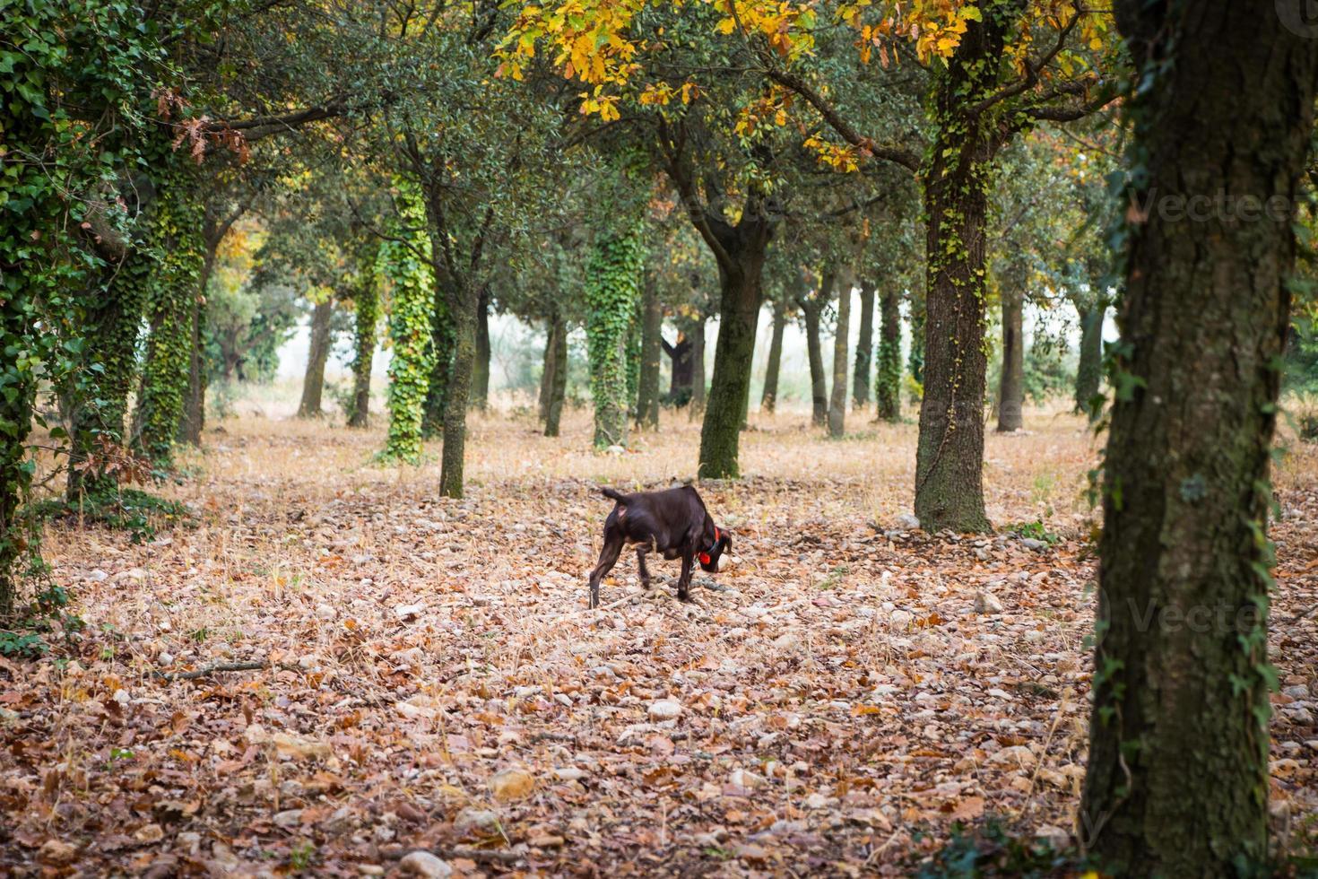 Perro a la caza de trufas en la Provenza, Francia foto