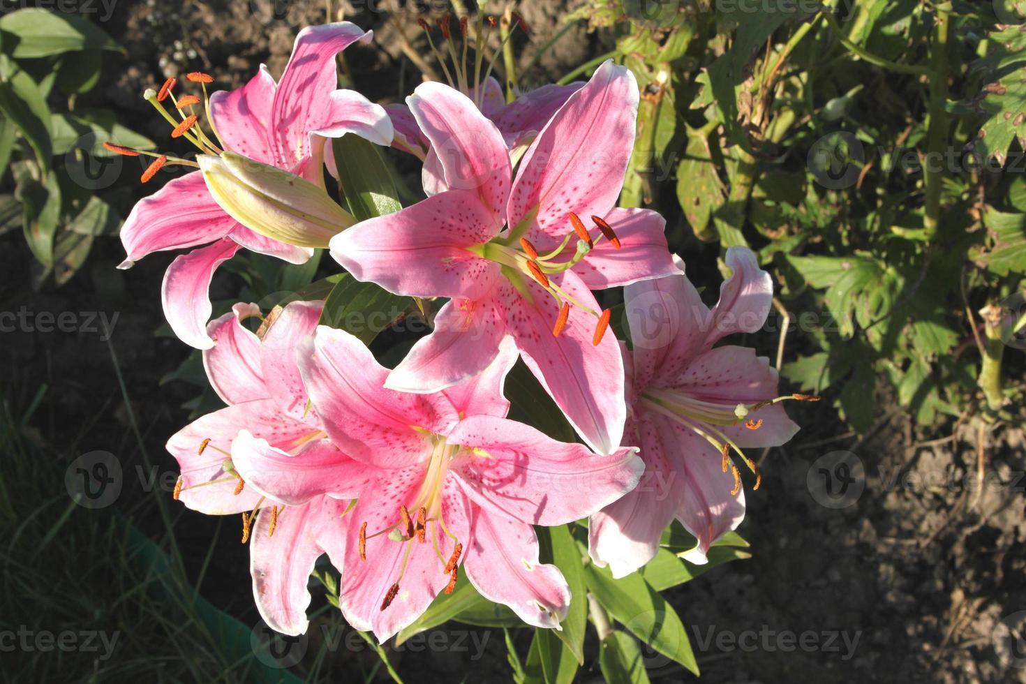 hermosas flores rosadas en un jardín de dacha foto