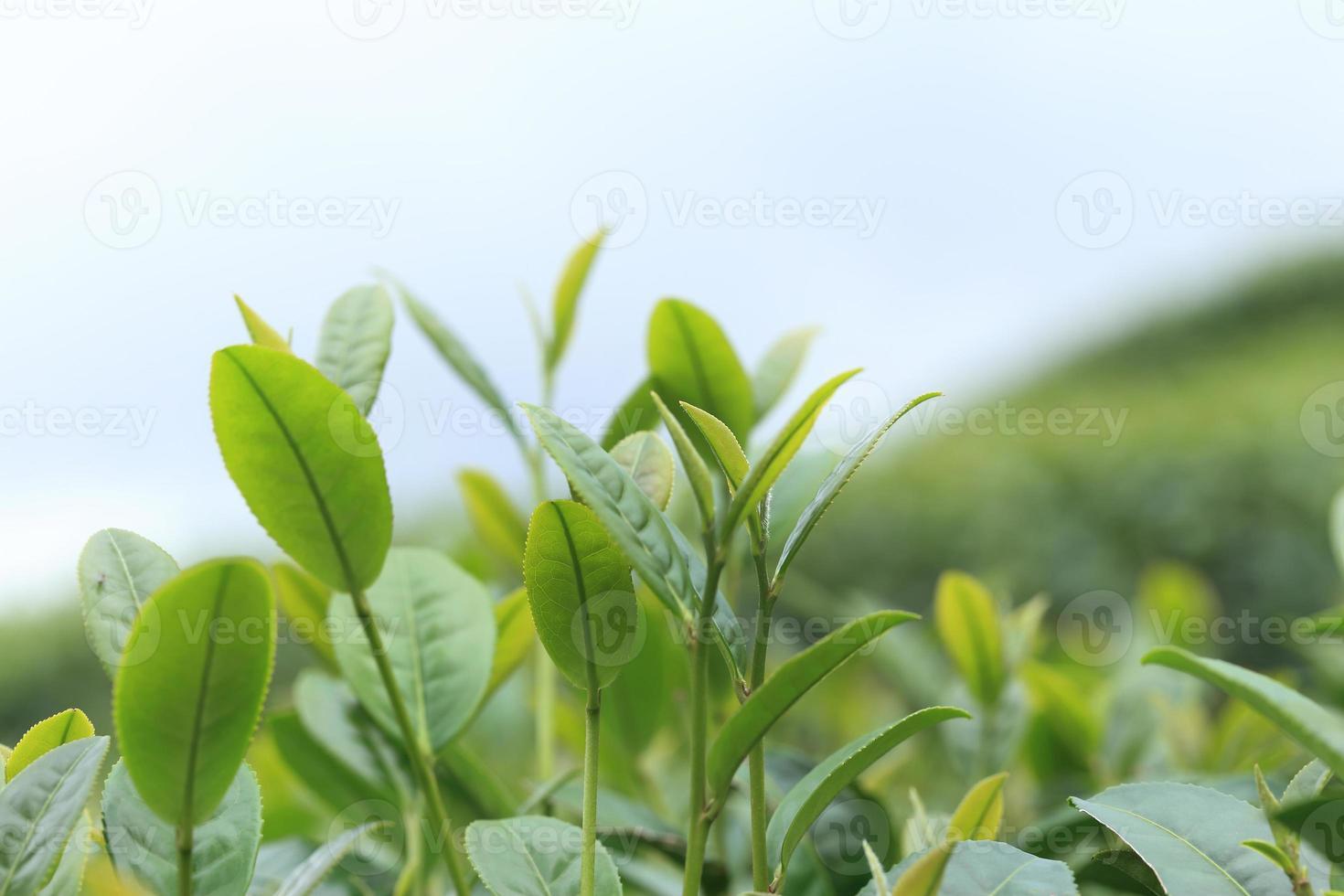 Fresh green tea leaf photo
