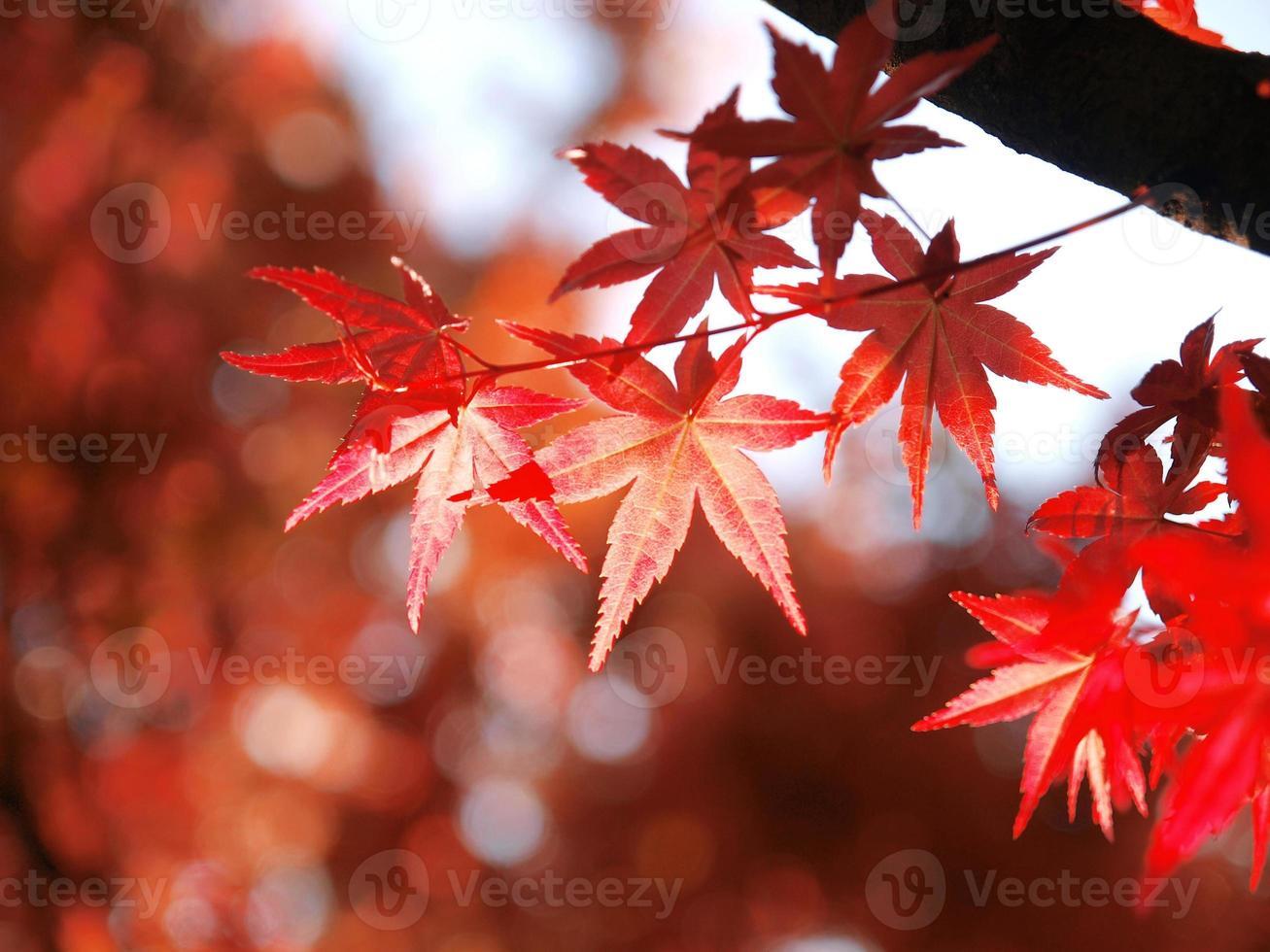 hojas de arce foto