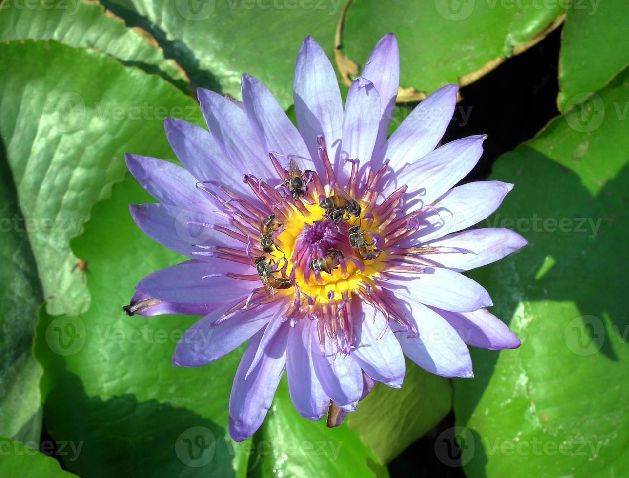 Cerca de loto púrpura con abeja foto