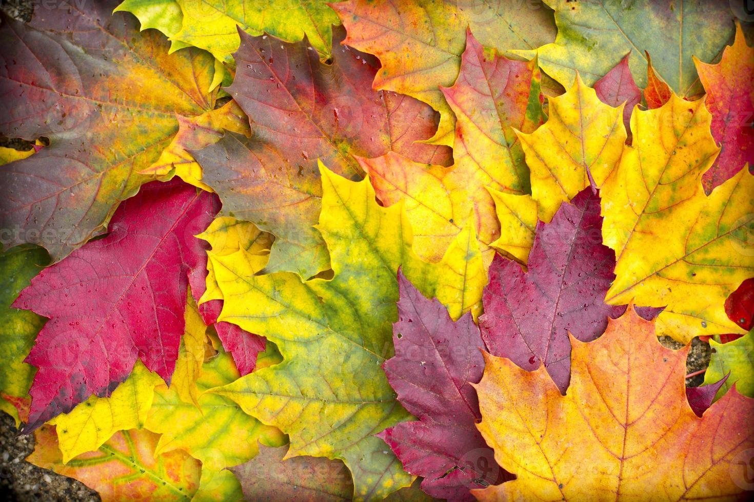 Maple leaves background photo