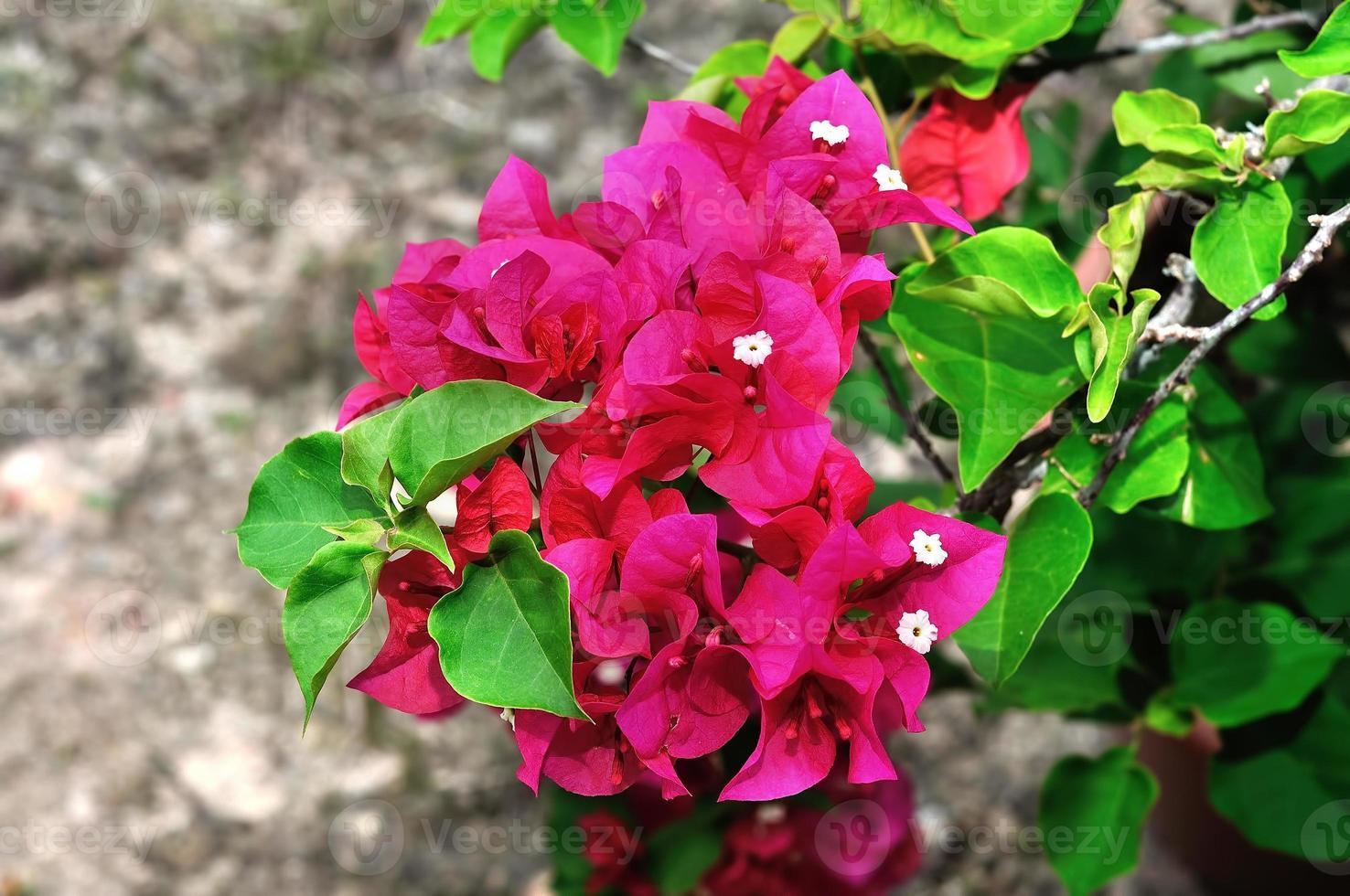 flor de buganvilla foto