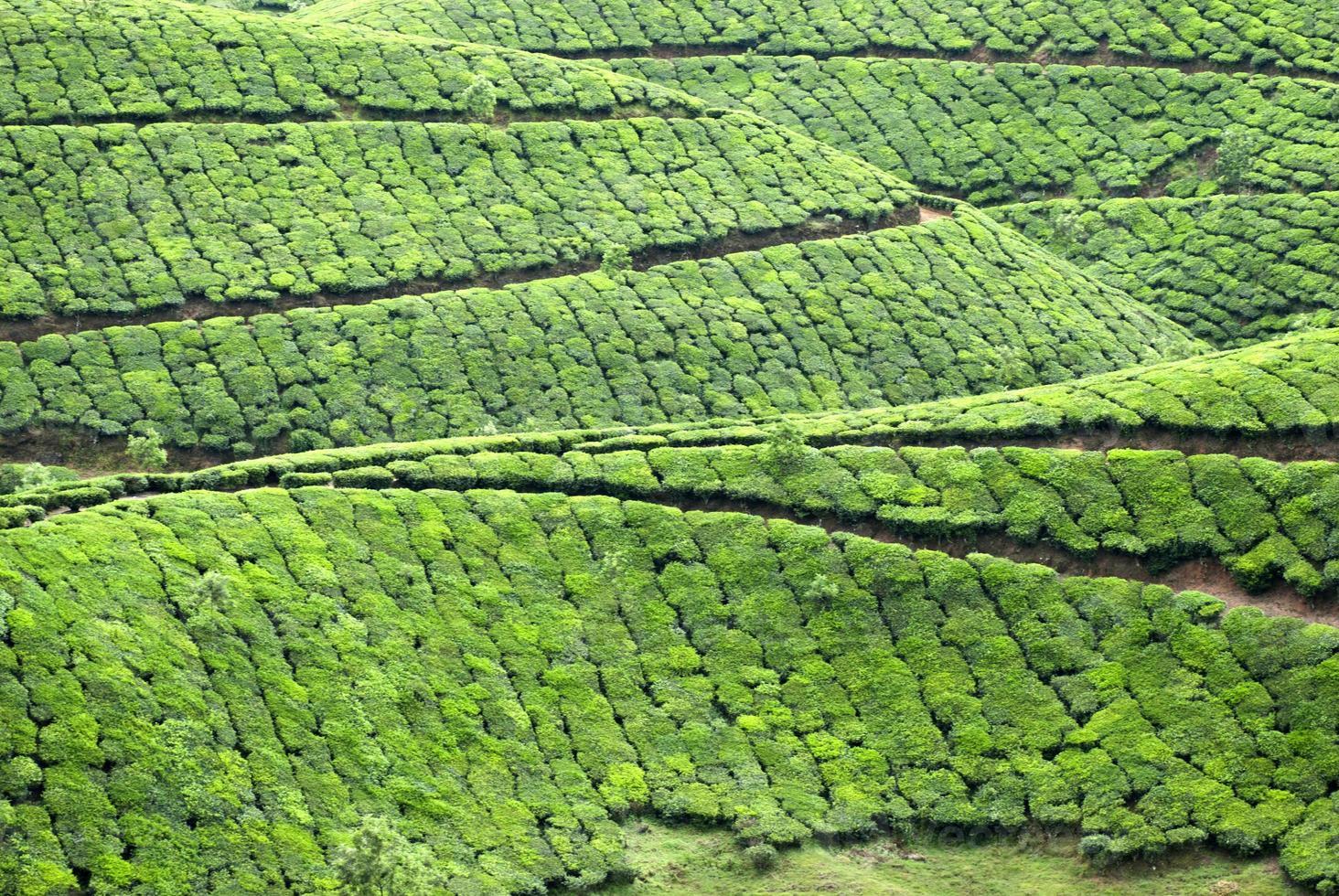 plantación de té, cultivo de té foto