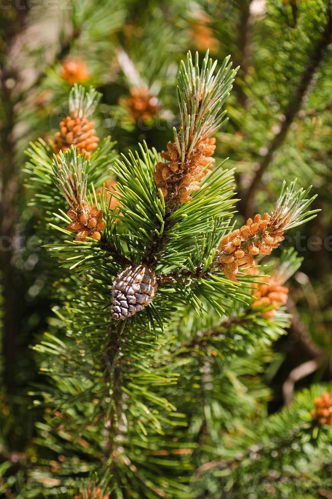 mugo pine photo