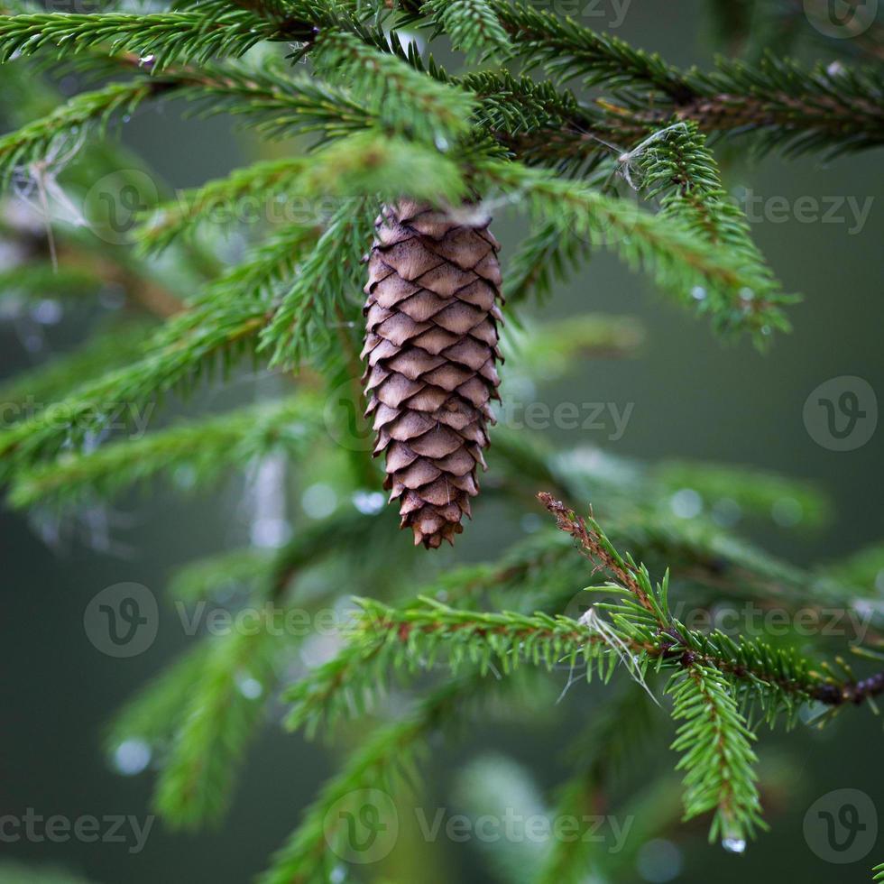 Cones on coniferous tree photo