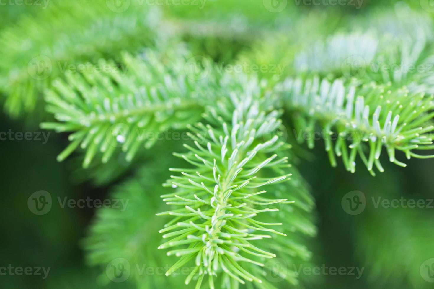 Natural green spruce branch. Fir tree photo