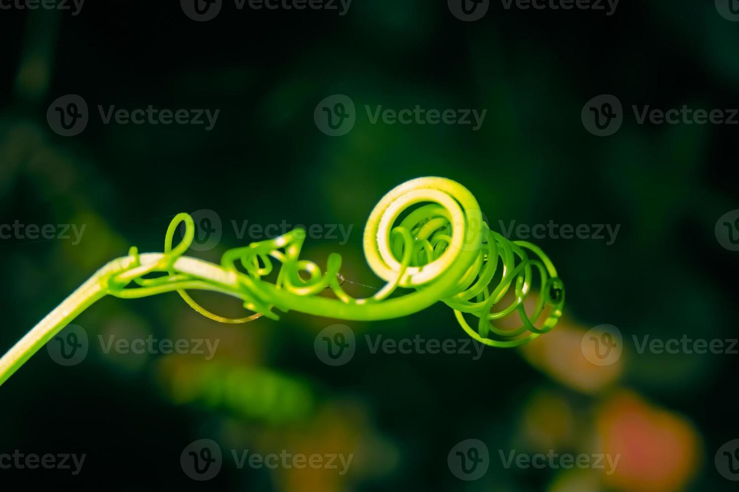 zarcillo de una planta de calabaza foto