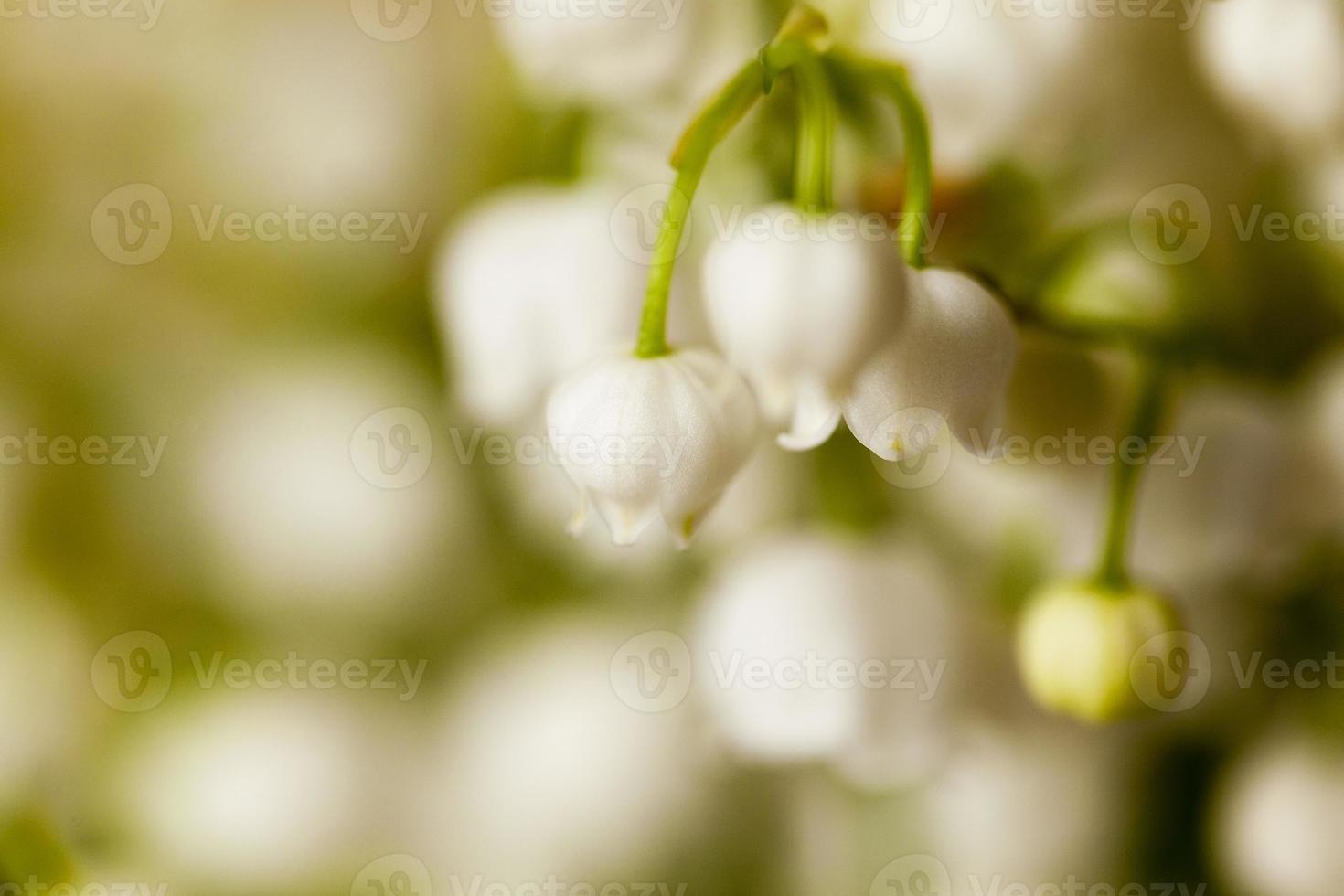 flor de lirio de los valles foto