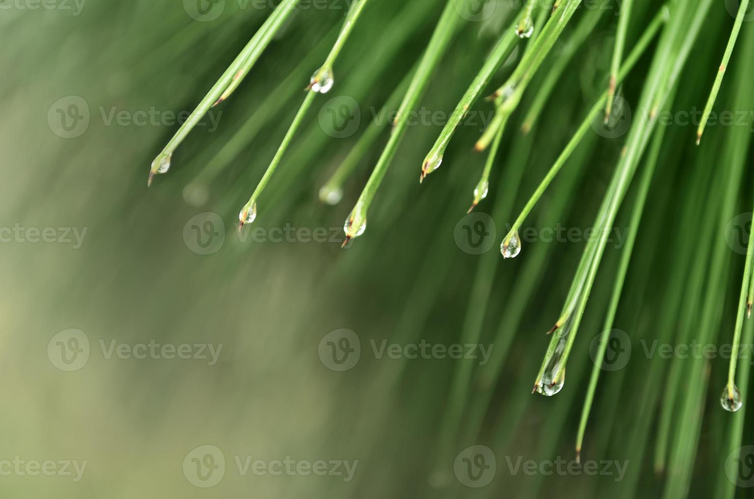 Raindrops on pine leaves photo