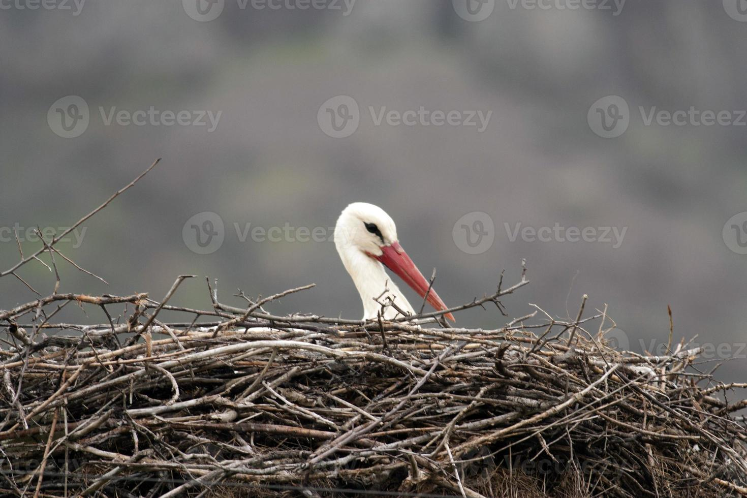 White stork in nest photo