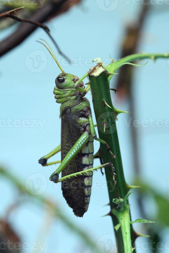Giant grasshopper (Tropidacris collaris). photo