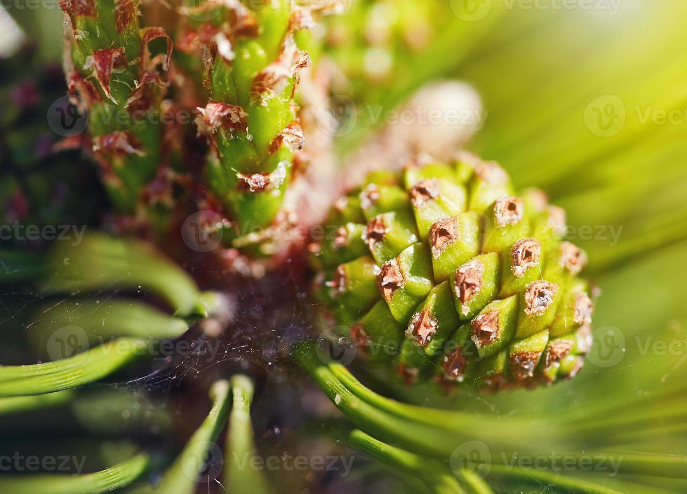 Pinecone, macro photo