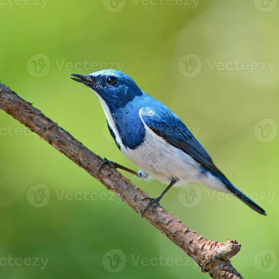 Ultramarine Flycatcher bird photo