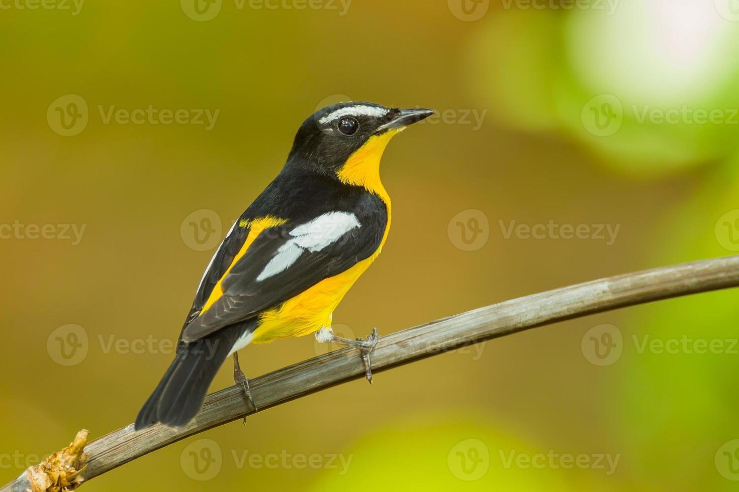 Back side Male Yellow-rumped flycatcher photo