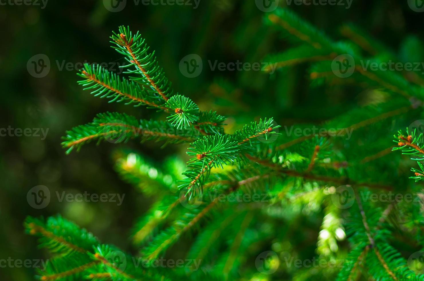 Fresh green fir branch photo