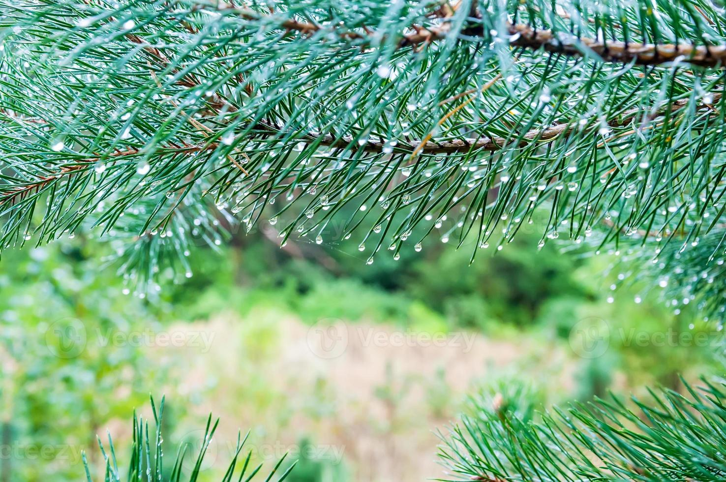 Water drops on pine needles photo