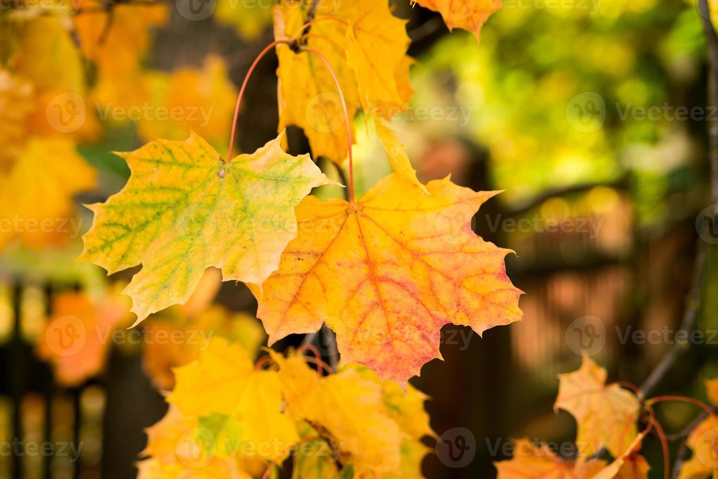 Golden autumn, red leafs. Fall, seasonal nature, beautiful foliage photo
