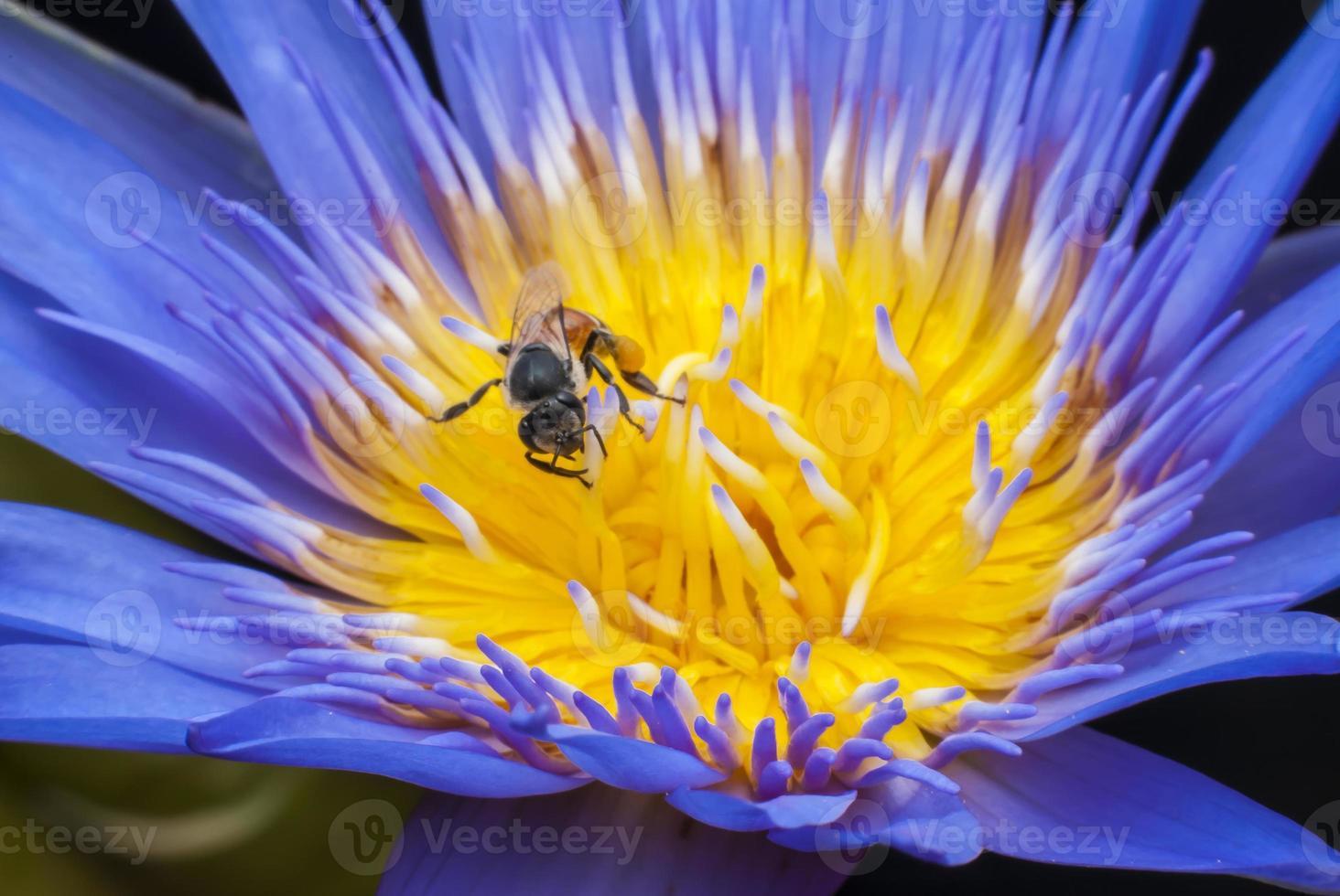 abeja en flor de loto hermosa. foto