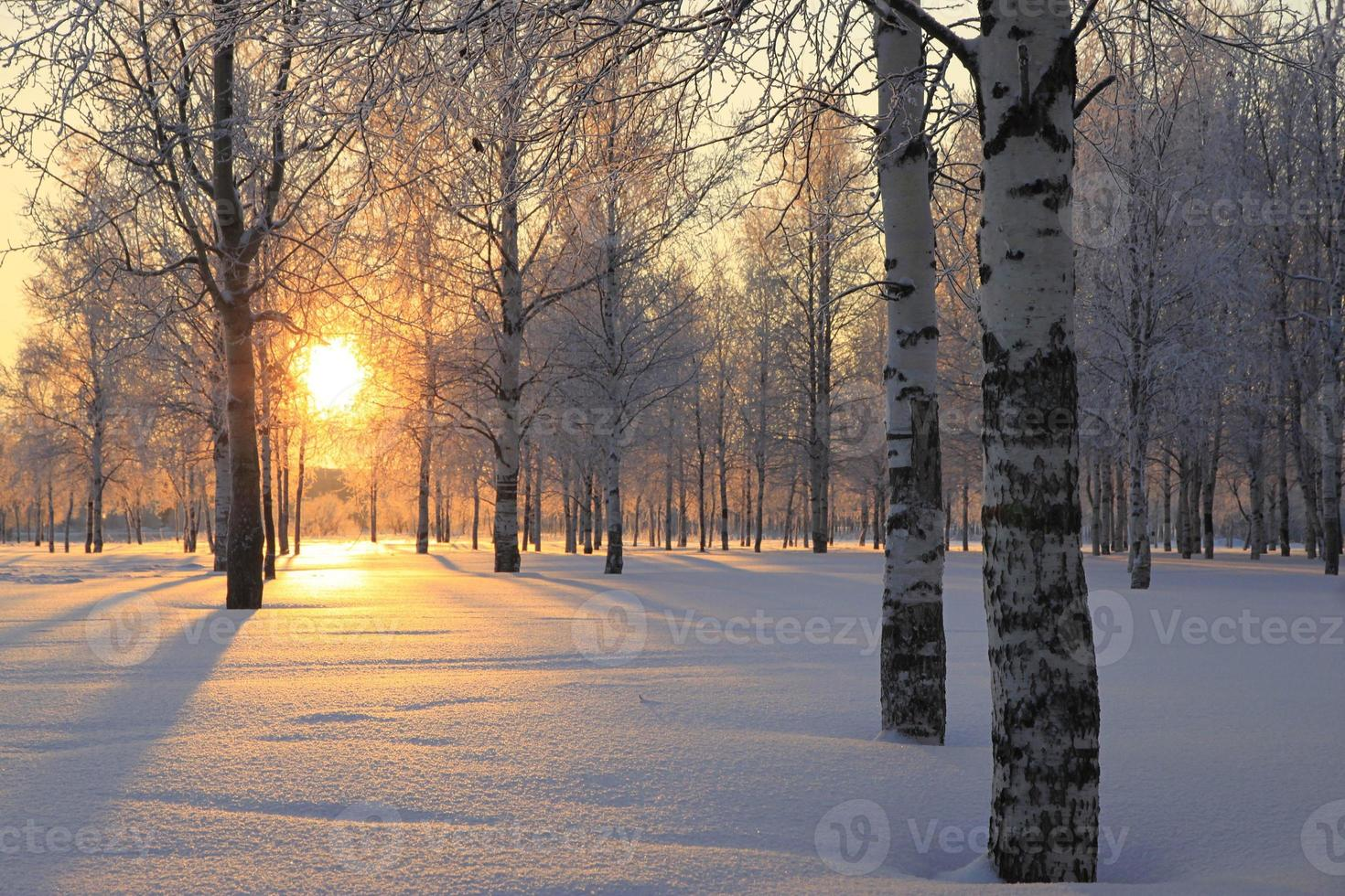 Winter landscape with white birch trees and the sun through the trees. photo