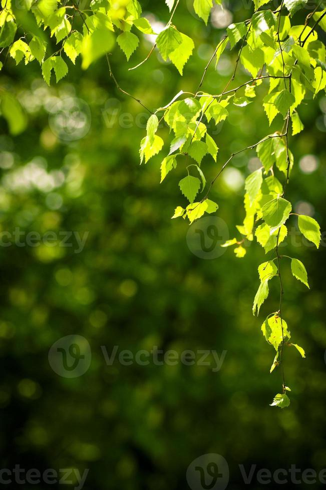 Young spring leaves photo