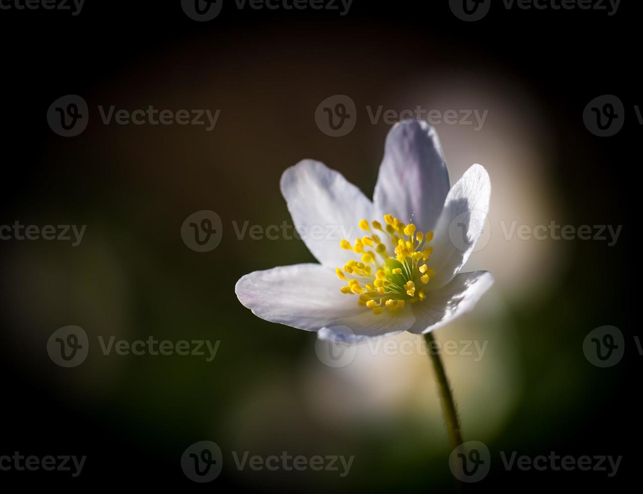 White anemones (Anemone nemorosa). photo