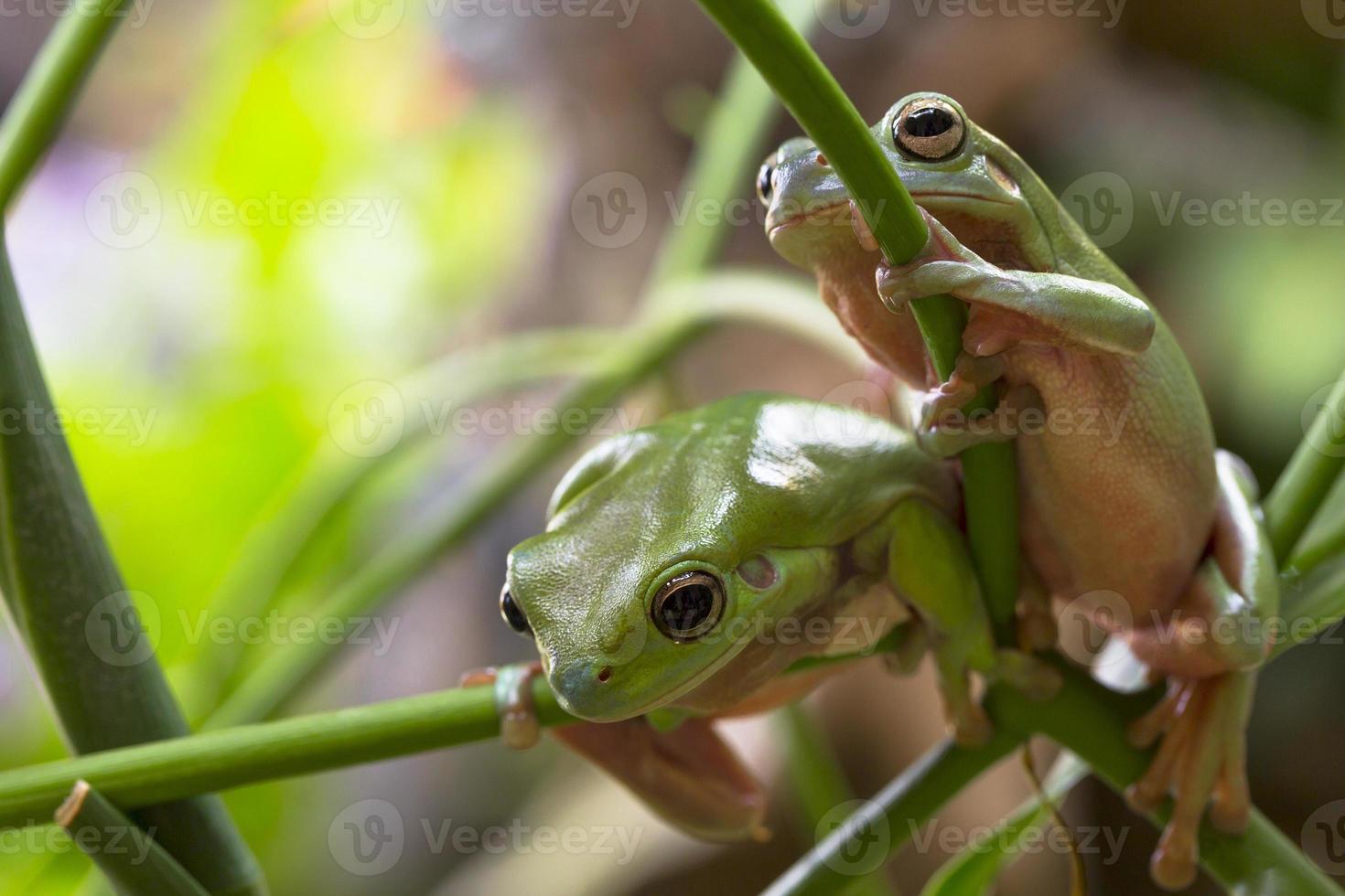 Australian Green Tree Frogs photo