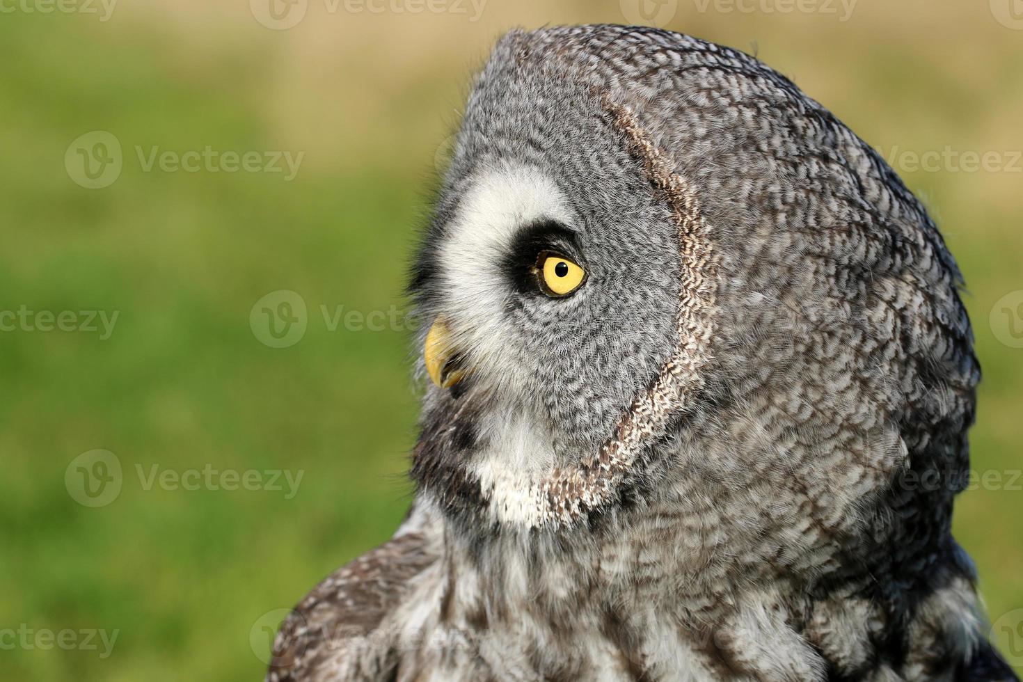 Great gray owl portrait photo