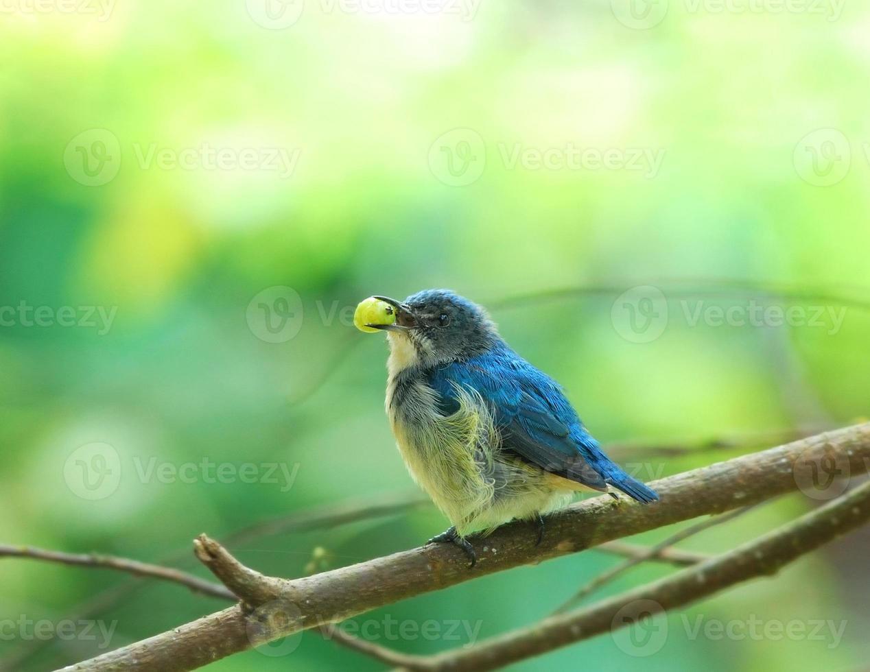 Birds eating fruit  ( Buff-bellied Flowerpecker ) photo