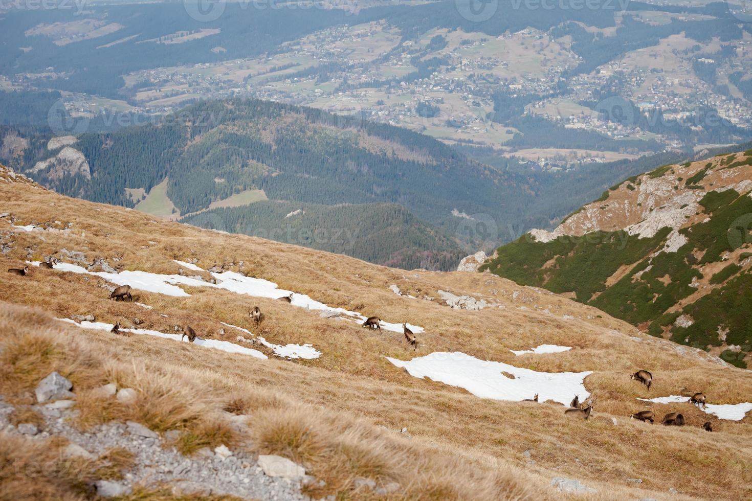 Group of mountain chamois in Tatry mountains photo