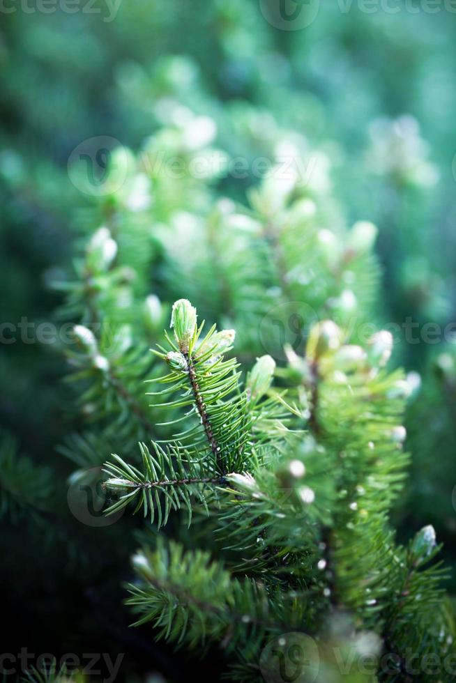Background of Christmas tree branches. photo