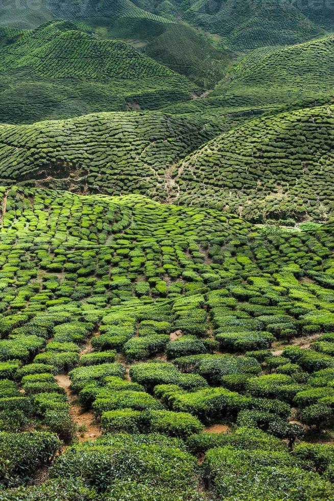 Tea plantation in the mountains photo