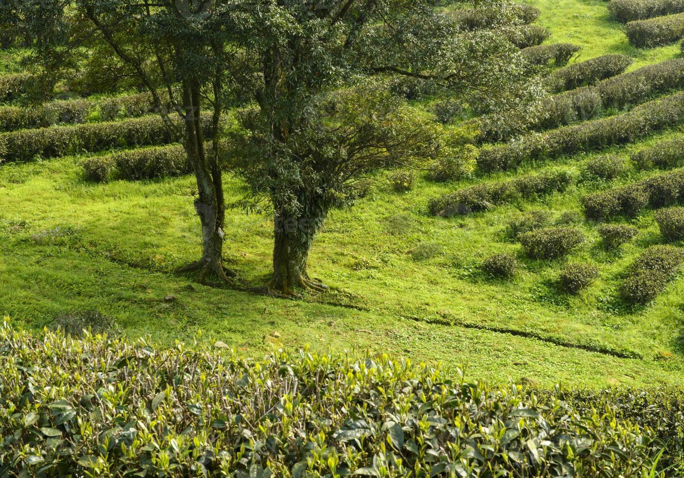 plantaciones de té verde en la montaña foto