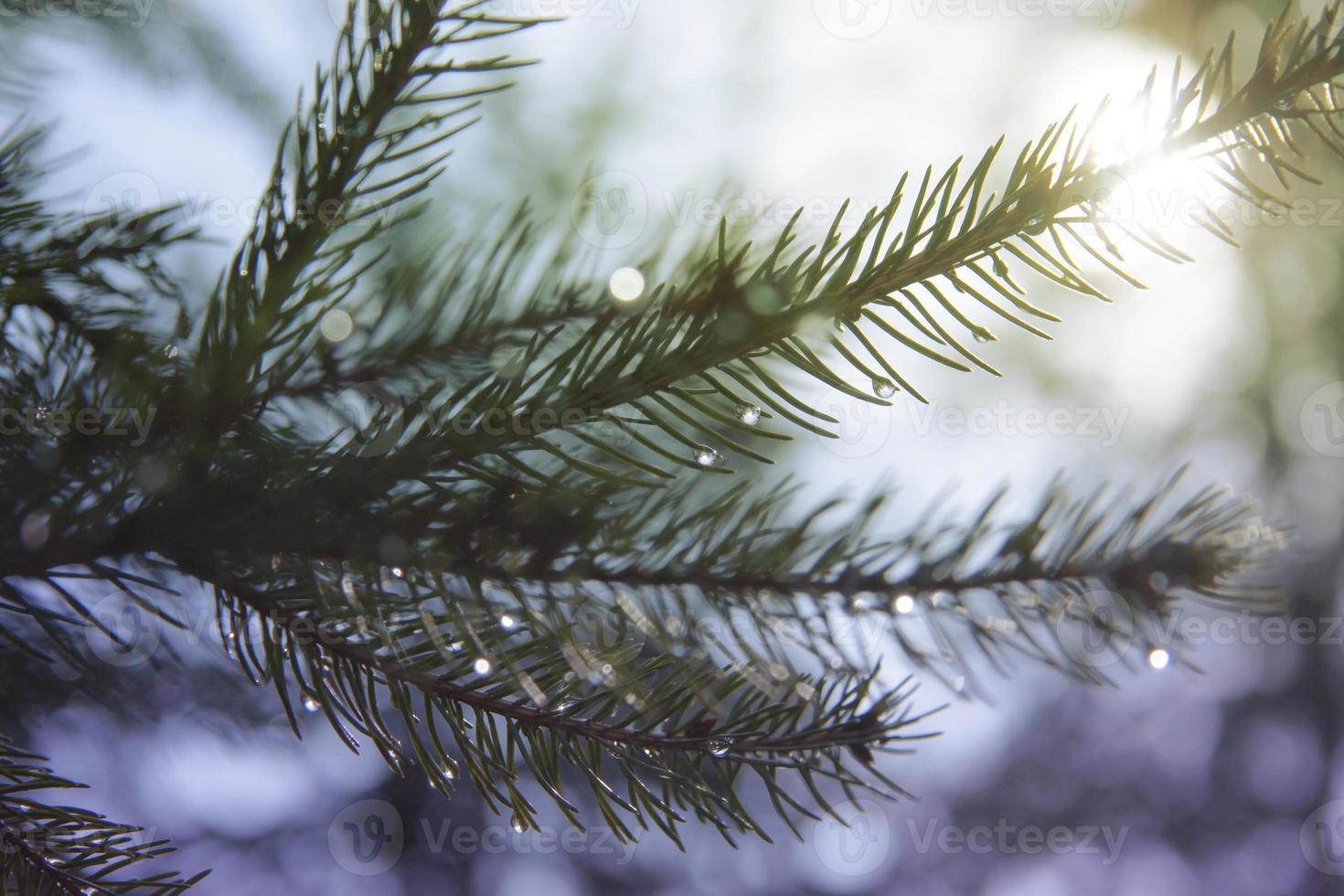 Fir with drops photo