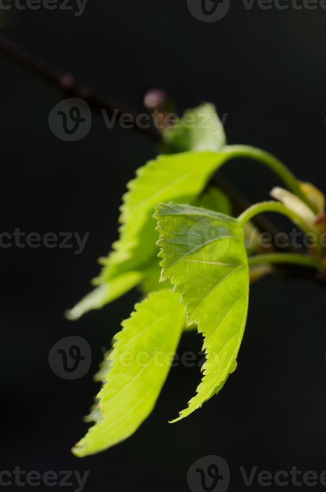 fresh spring birch leaves macro photo