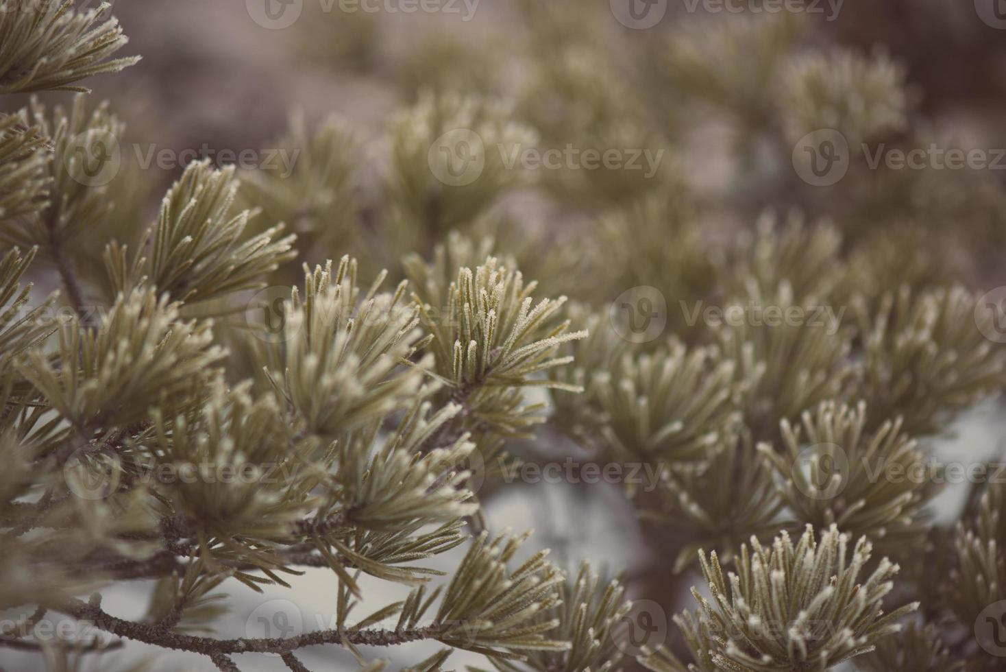 pine tree closeup with frost - aged photo
