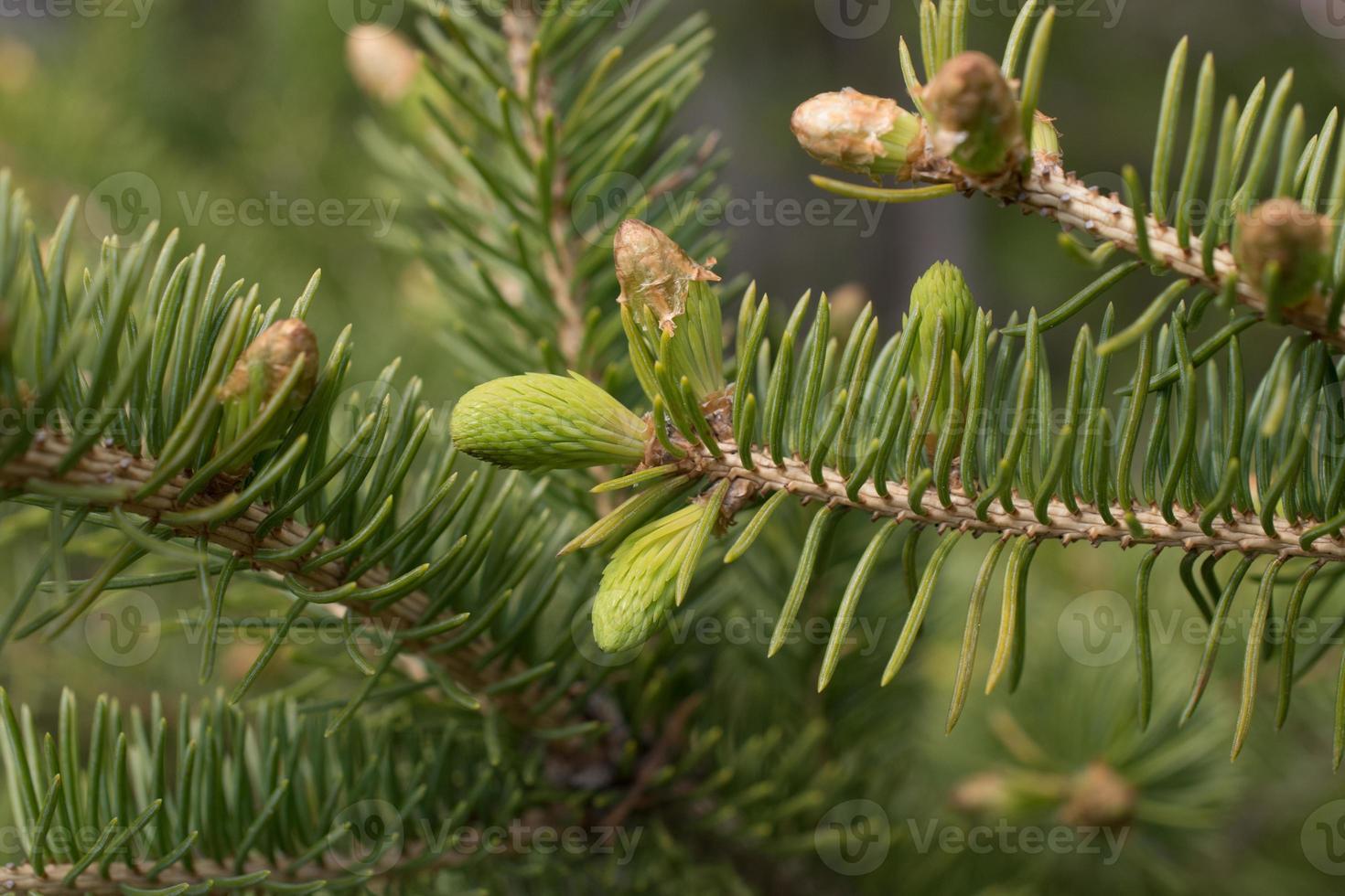 Fir Tree Branch Close Up photo