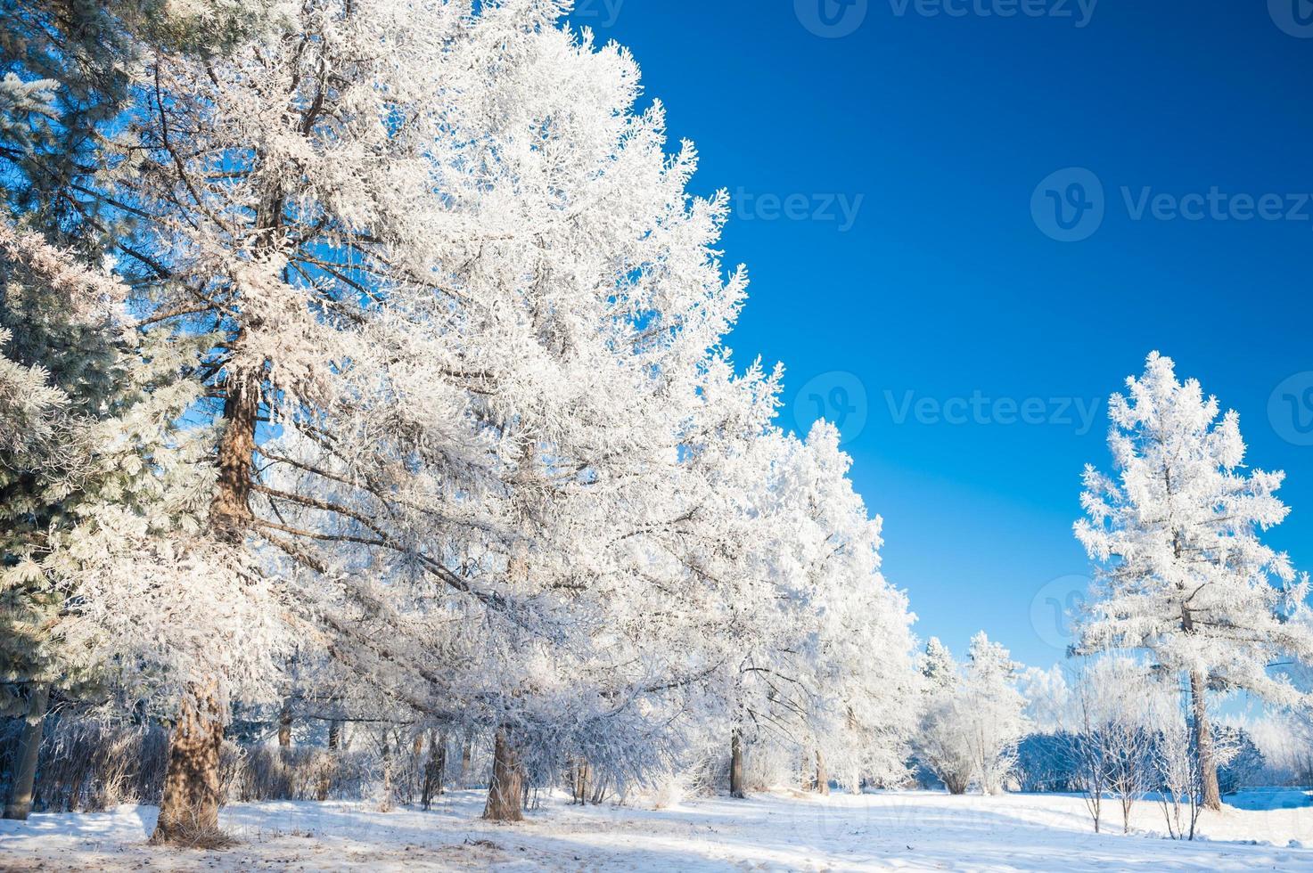 grandes pinos con escarcha contra el cielo azul. foto