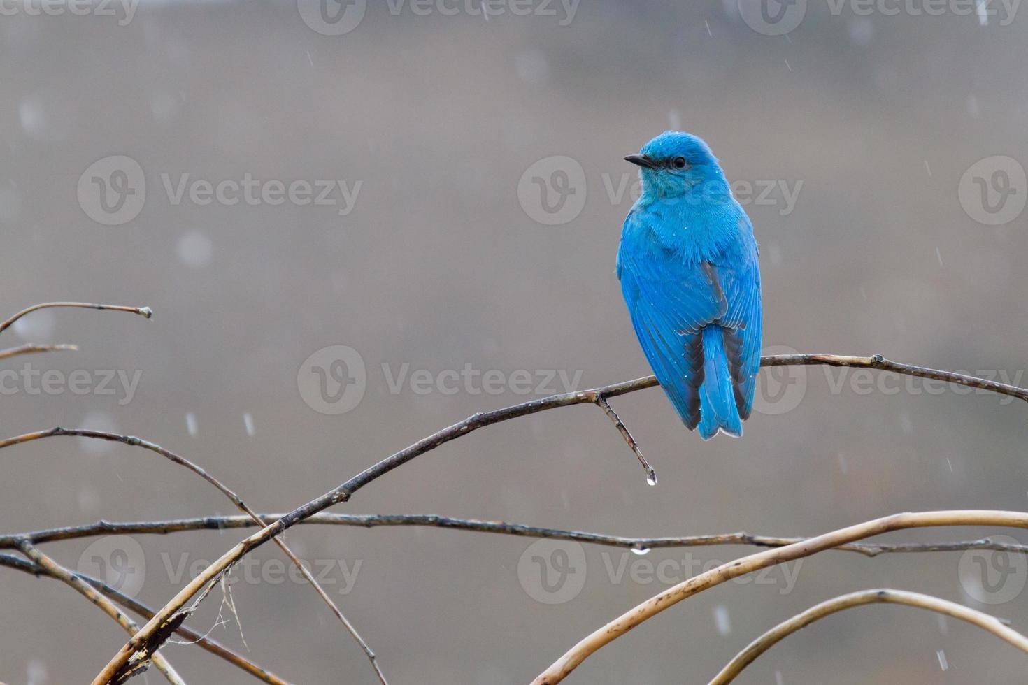 Mountain Bluebird In the Rain photo