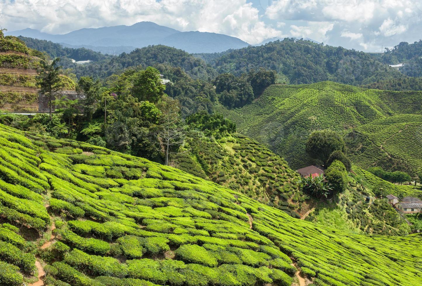 plantación de té en las montañas foto