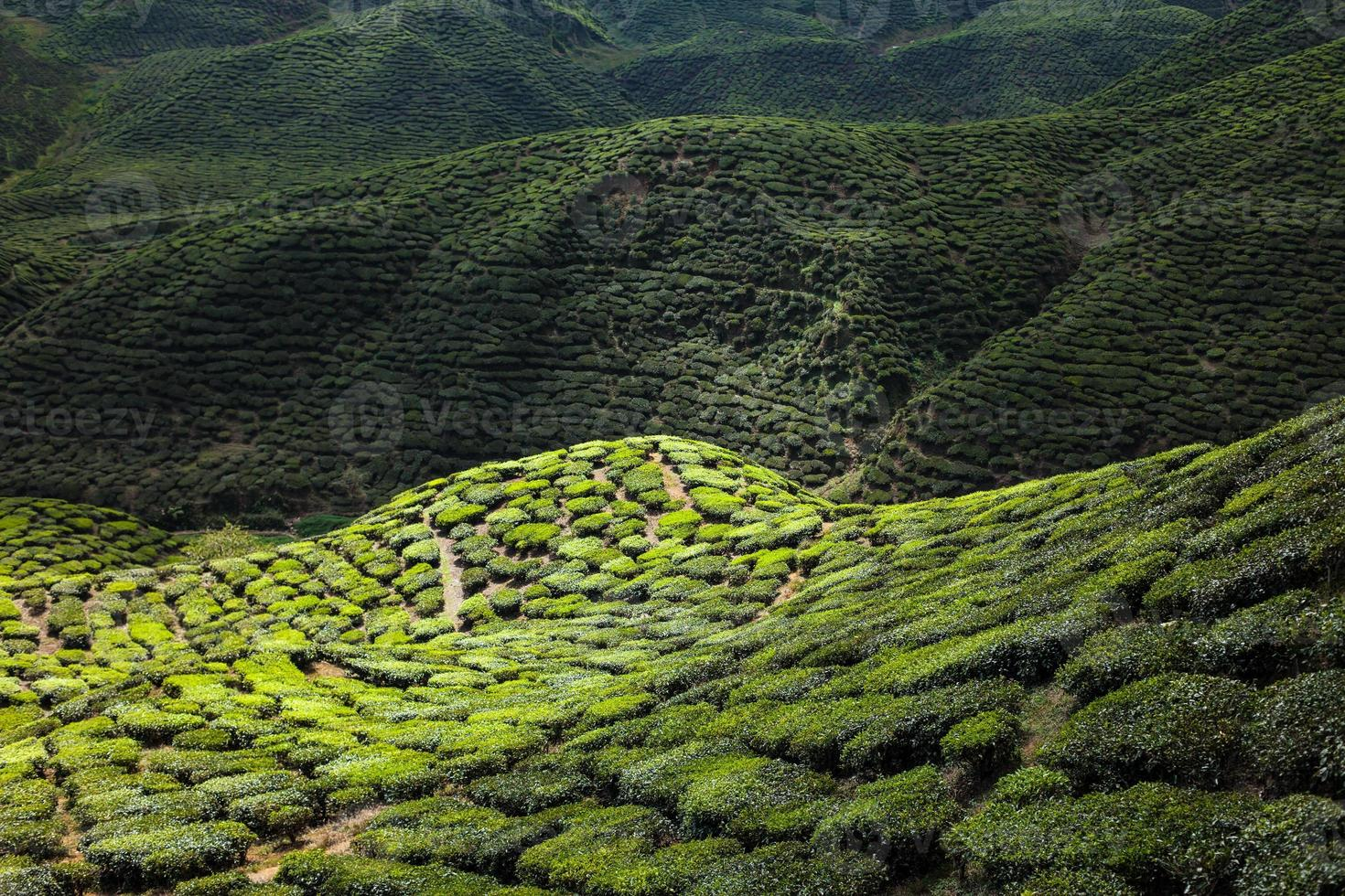 Tea plantation in the mountains photo