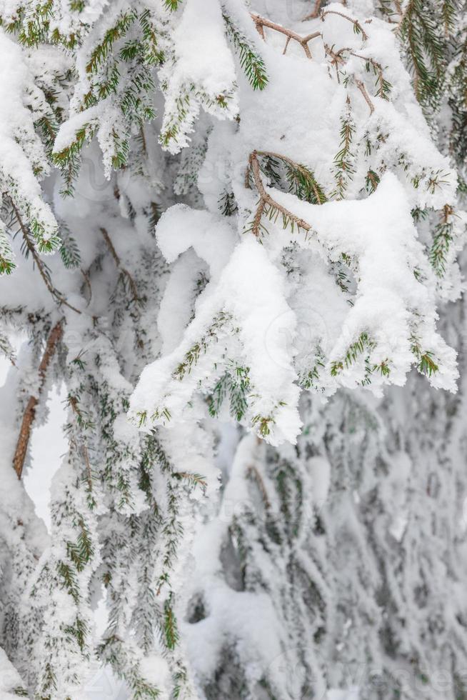 textura de abeto cubierto de nieve foto
