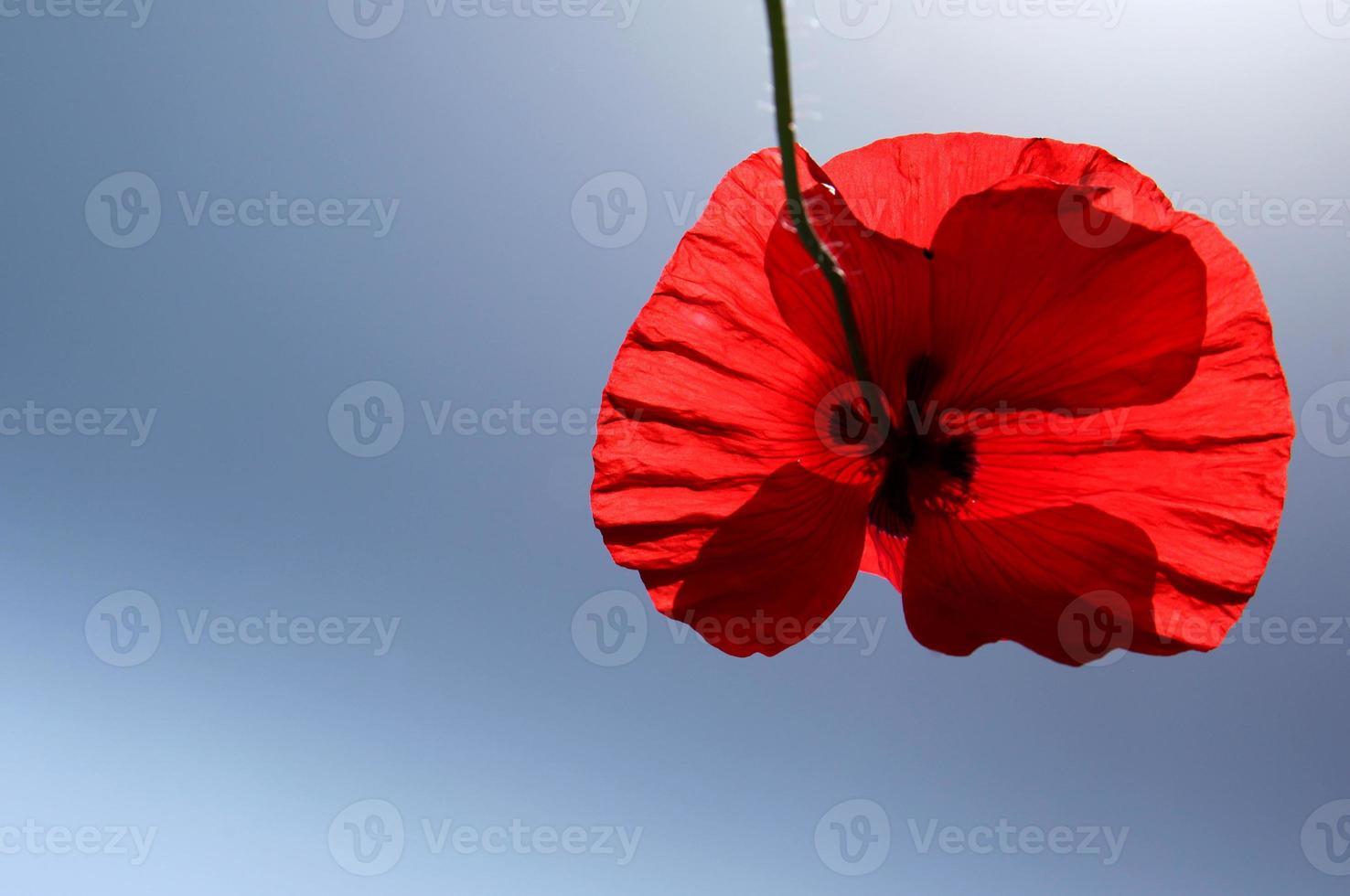 Red poppy flower with blue sky photo