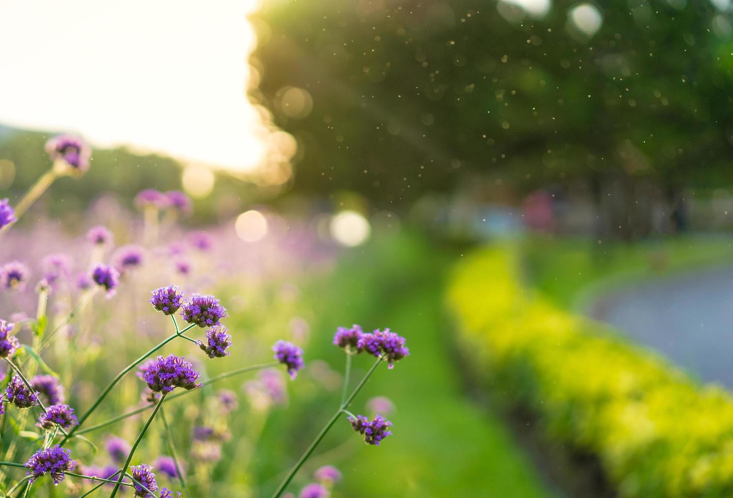 Verbena purple flowers  photo