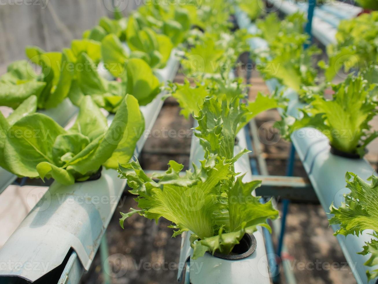 hydroponic plants photo