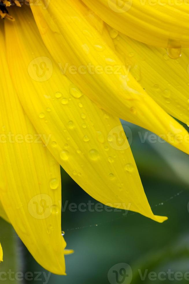 Abstract background with sunflower petals photo
