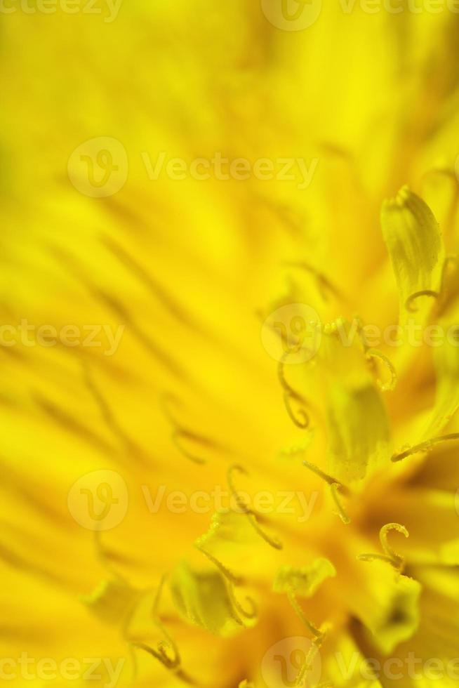 extreme close up of a dandelion photo